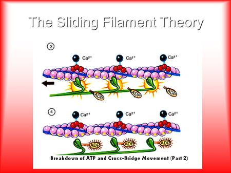 The Sliding Filament Theory. Steps to the Sliding Filament Theory 1.A message originates in the brain and is released to the central nervous system (CNS)