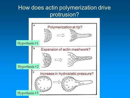How does actin polymerization drive protrusion? Polymerization at tip? Expansion of actin meshwork? Increase in hydrostatic pressure? Hypothesis #1 Hypothesis.
