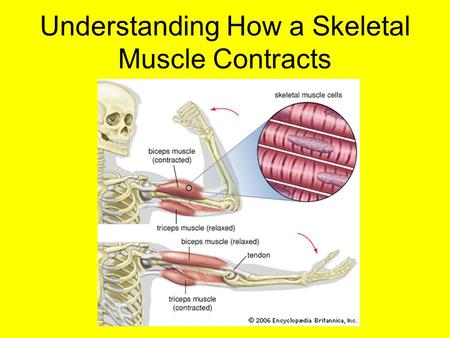 Understanding How a Skeletal Muscle Contracts. A skeletal muscles contraction begins at the neuromuscular junction. What do you think the definition of.