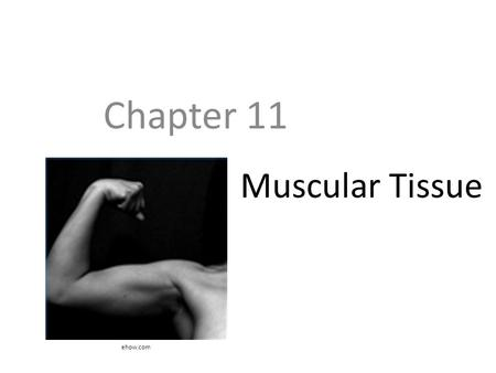 Chapter 11 Muscular Tissue ehow.com.