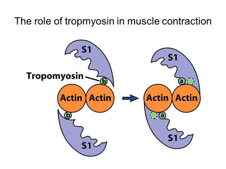 The role of tropmyosin in muscle contraction. 9.7 Nonmuscle motility (1) Actin-binding proteins affect the localized assembly or disassembly of the actin.
