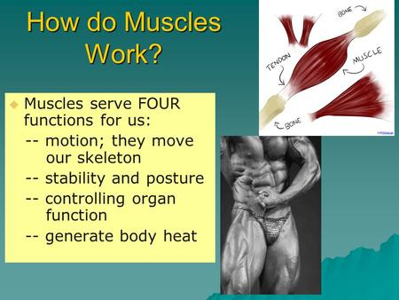 How do Muscles Work?   Muscles serve FOUR functions for us: -- motion; they move our skeleton -- stability and posture -- controlling organ function.