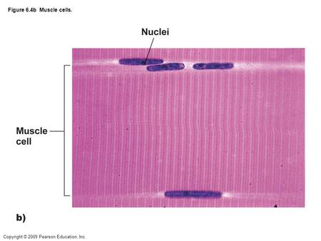 Copyright © 2009 Pearson Education, Inc. Figure 6.4b Muscle cells.