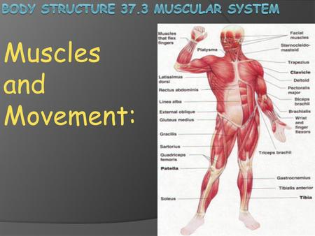 Body Structure 37.3 Muscular System
