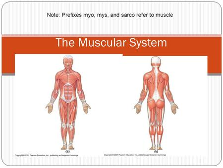 Note: Prefixes myo, mys, and sarco refer to muscle