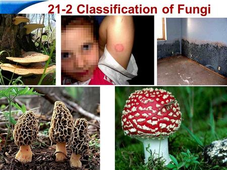 End Show Slide 1 of 44 21-2 Classification of Fungi.