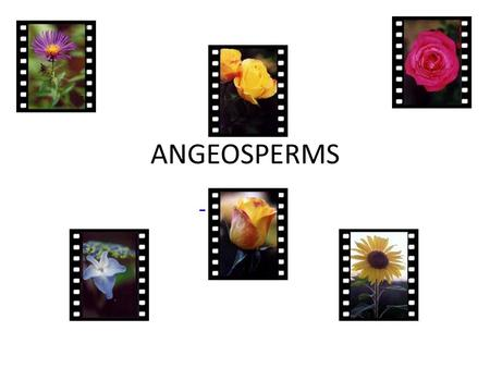 ANGEOSPERMS. GENERAL CHARACTERISTICS Enclose their seed in masses of tissue = fruit – Fruit protects and aids in the distribution of seeds Their xylem.