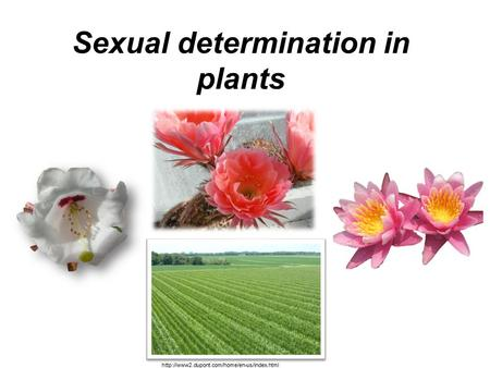 Sexual determination in plants