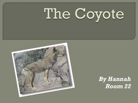 By Hannah Room 22 The coyote is a member of the dog family. In size and shape the coyote is like a medium-sized Collie dog, but its tail is round and.