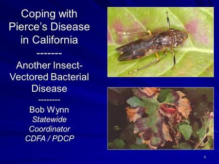 1 Coping with Pierce's Disease in California ------- Another Insect- Vectored Bacterial Disease -------- Bob Wynn Statewide Coordinator CDFA / PDCP.