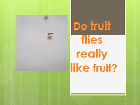 Question  Do fruit flies really like fruit? If not what food do they like best?