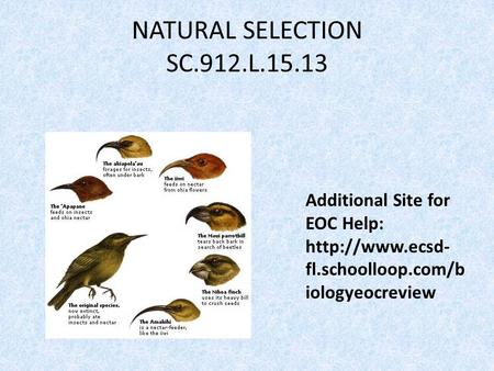 NATURAL SELECTION SC.912.L.15.13 Additional Site for EOC Help:  fl.schoolloop.com/b iologyeocreview.