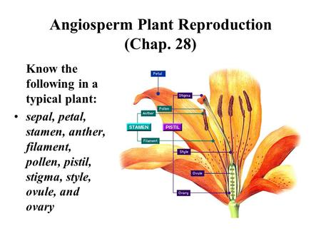 Angiosperm Plant Reproduction (Chap. 28) Know the following in a typical plant: sepal, petal, stamen, anther, filament, pollen, pistil, stigma, style,