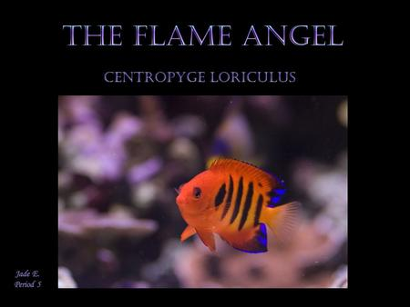 The Flame Angelfish is known for its beauty. It is a brilliantly colored fish, and unlike other Angelfish, their markings don't change with age. The Flame.