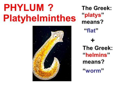 "PHYLUM The Greek: ""platys"" means? ""flat"" + The Greek: ""helmins"" means? ""worm"" Platyhelminthes ?"