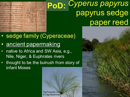 Cyperus papyrus papyrus sedge paper reed sedge family (Cyperaceae) ancient papermaking native to Africa and SW Asia, e.g., Nile, Niger, & Euphrates rivers.