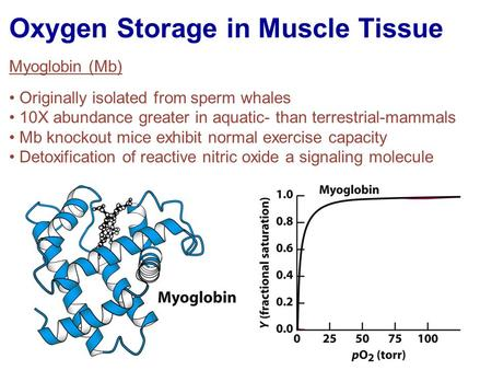 Oxygen Storage in Muscle Tissue Myoglobin (Mb) Originally isolated from sperm whales 10X abundance greater in aquatic- than terrestrial-mammals Mb knockout.