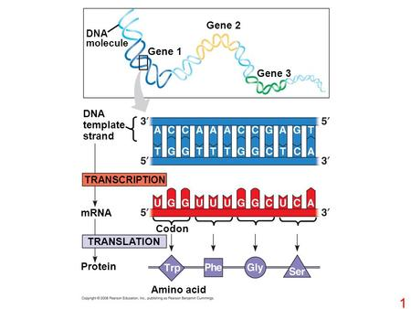 DNA molecule Gene 1 Gene 2 Gene 3 DNA template strand TRANSCRIPTION TRANSLATION mRNA Protein Codon Amino acid 1.