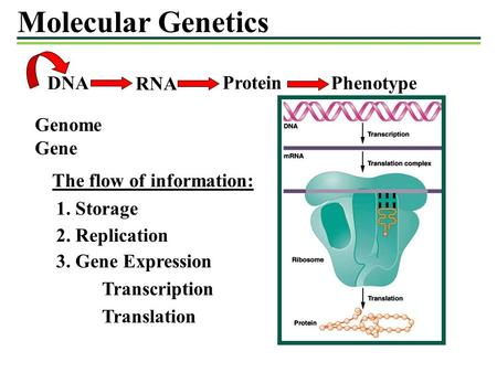 Molecular Genetics DNAPhenotype RNA Transcription Translation Genome Gene The flow of information: 1. Storage 3. Gene Expression Protein 2. Replication.