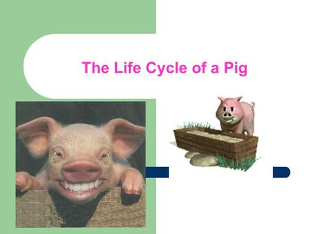 The Life Cycle of a Pig. Farrowing House Baby pigs are born in a farrowing house. The farrowing crate prevents the sow from stepping on or laying on the.