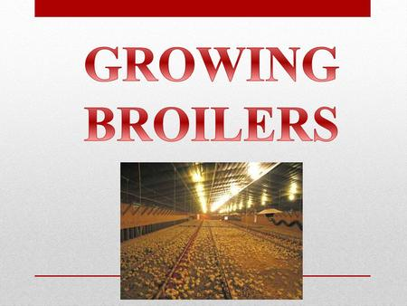 GROWING BROILERS.