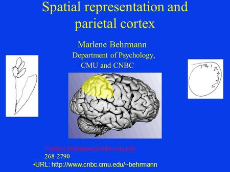 Spatial representation and parietal cortex Marlene Behrmann Department of Psychology, CMU and CNBC Contact: 268-2790 URL: