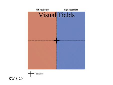 Visual Fields KW 8-20. Fovea on Cortex KW 8-22 Occipital Lobes are Independent KW 8-24.