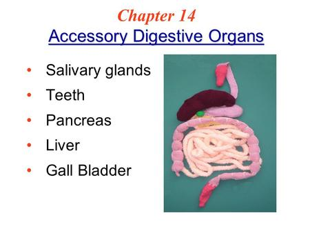 Accessory Digestive Organs Chapter 14 Accessory Digestive Organs Salivary glands Teeth Pancreas Liver Gall Bladder.