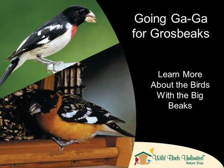 Learn More About the Birds With the Big Beaks Going Ga-Ga for Grosbeaks.