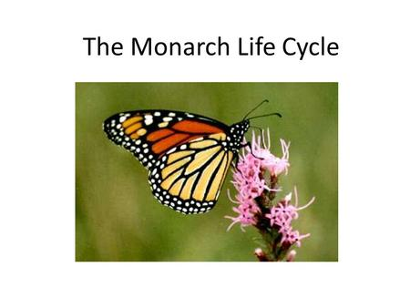 The Monarch Life Cycle. The monarch butterfly is seen in our area from May until October. Its life cycle is about 4 – 6 weeks. Female monarchs each lay.