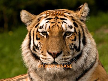 TIGERS BY RORY KINANE WHAT YOU WILL LEARN TYPES HOW MUCH THEY WEIGH HOW LONG THEY LIVE FOR WHAT LENGTH ARE THEY WHERE THEY LIVE WHAT THEY EAT PICTURES.