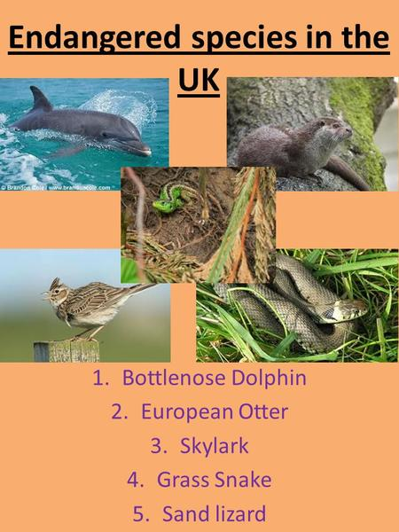 Endangered species in the UK 1.Bottlenose Dolphin 2.European Otter 3.Skylark 4.Grass Snake 5.Sand lizard.