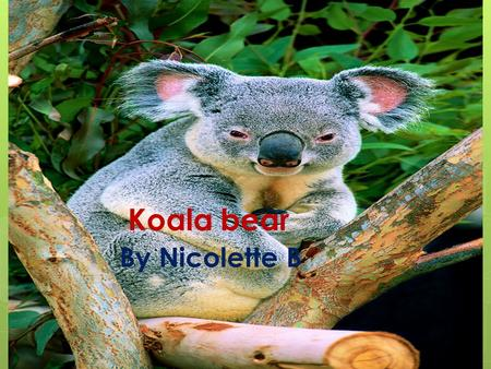 Koala bear By Nicolette B Physical Characteristics  Gray/brown fur, white chin, and chest  They grow about two feet tall and can weigh up to 30 pounds.