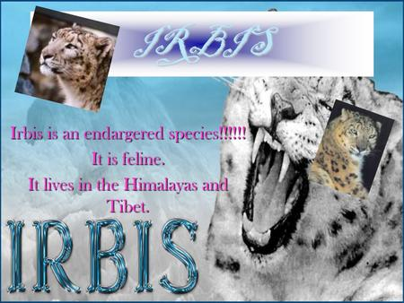 IRBIS Irbis is an endargered species!!!!!! It is feline. It lives in the Himalayas and Tibet.