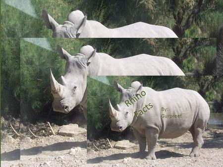 Rhino Facts By: Gurpreet. The name Rhinoceros means nose horn and is often shortened to rhino.