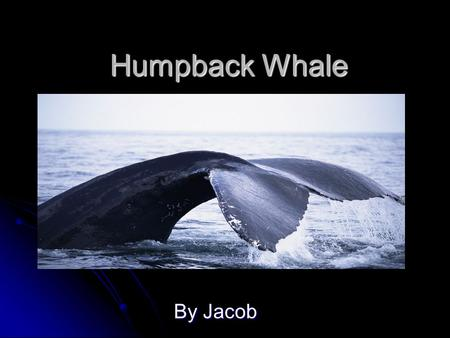 Humpback Whale By Jacob Mammal A Humpback Whale has hair. A Humpback Whale has hair. It has a back bone. It has a back bone. They feed their young milk.