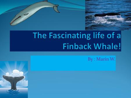 By : Marin W.. Table of Contents What is a Finback Whale? Page 1 What do Finback Whales eat? Page 2 Who eats Finback Whales? Page 3 What is a Finback.