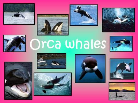 Orca whales. DESCRIPTION The orca whale, also known as the killer whale is a toothed whale that is a very focused predator, even attacking enormous young.