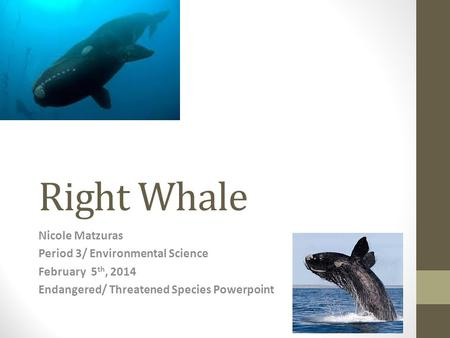 Right Whale Nicole Matzuras Period 3/ Environmental Science February 5 th, 2014 Endangered/ Threatened Species Powerpoint.