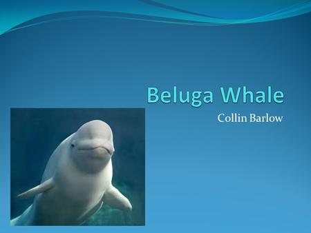 Collin Barlow. Show Me The Whale Facts! Scientific name: Delphinapterus leucas Small, white-toothed whale. Adult belugas may reach a length of 16 feet.