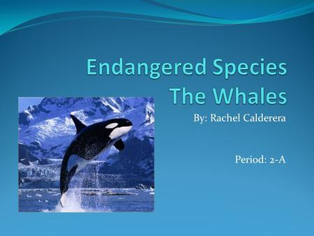 By: Rachel Calderera Period: 2-A. Thesis Statement Whales are becoming endangered because of the actions humans are making.