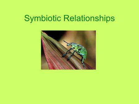 Symbiotic Relationships. What is symbiosis? What it means: Two organisms that live together Temporarily or for a longer time At least one of the organisms.