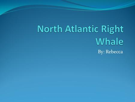By: Rebecca. Physical Characteristics The North Atlantic Right Whale can be 45-55 feet long. The North Atlantic Right Whale weighs up to 70 tons. The.