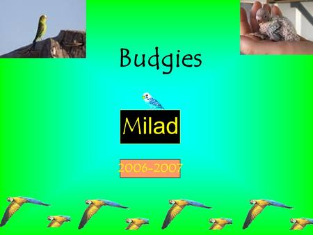 Milad 2006-2007 Budgies. In this project I am focusing on birds and specifically on budgies. Birds came to our world about 150 thousand years ago. They.