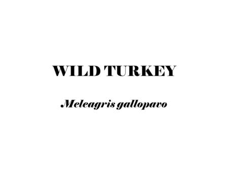 WILD TURKEY Meleagris gallopavo. Turkey Facts 5,000-6,000 feathers cover the body in patterns called feather tracts Feathers keep turkey dry & warm Allow.
