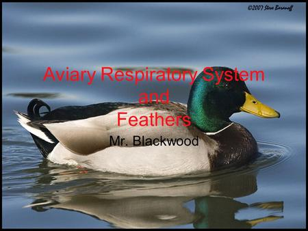 Aviary Respiratory System and Feathers Mr. Blackwood.
