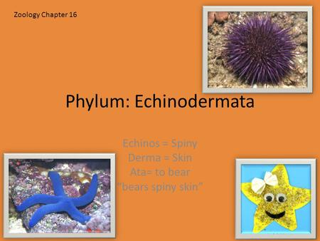 "Phylum: Echinodermata Echinos = Spiny Derma = Skin Ata= to bear ""bears spiny skin"" Zoology Chapter 16."