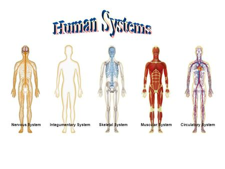 Nervous SystemIntegumentary SystemSkeletal SystemMuscular SystemCirculatory System.