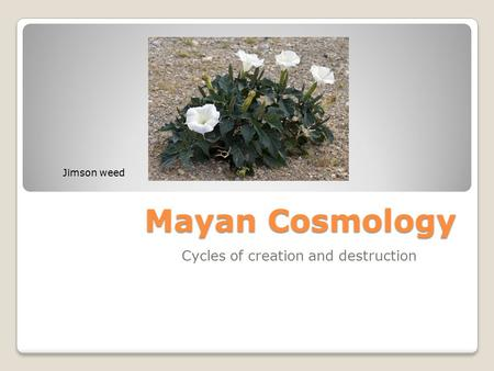 Mayan Cosmology Cycles of creation and destruction Jimson weed.