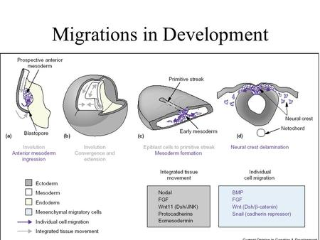 Migrations in Development. Neural Crest Migration The peripheral nervous system is created by a spatiotemporally coordinated migratory process during.